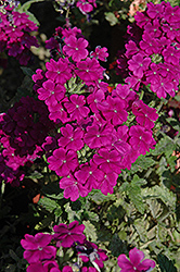 Empress™ Purple Verbena (Verbena 'Empress Purple') at Ron Paul Garden Centre