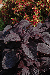 ColorBlaze® Dark Star Coleus (Solenostemon scutellarioides 'Dark Star') at Ron Paul Garden Centre
