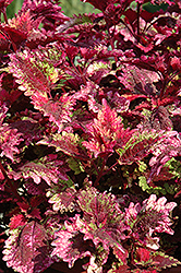 Florida Sun Rose Coleus (Solenostemon scutellarioides 'Florida Sun Rose') at Ron Paul Garden Centre
