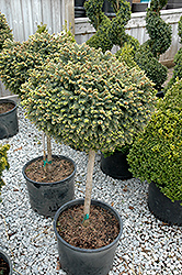Little Gem Spruce (tree form) (Picea abies 'Little Gem (tree form)') at Ron Paul Garden Centre