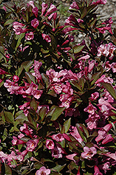 Samba Weigela (Weigela florida 'Samba') at Ron Paul Garden Centre