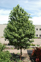 Goldspur™ Amur Cherry (Prunus maackii 'Jefspur') at Ron Paul Garden Centre