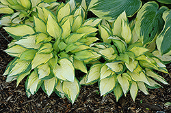 Orange Marmalade Ball Hosta (Hosta 'Orange Marmalade') at Ron Paul Garden Centre
