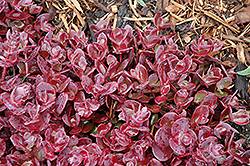 Cherry Tart Stonecrop (Sedum 'Cherry Tart') at Ron Paul Garden Centre