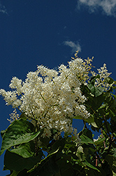 Ivory Pillar Japanese Tree Lilac (Syringa reticulata 'Willamette') at Ron Paul Garden Centre