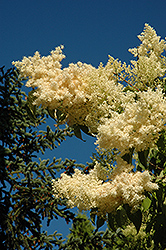 Golden Eclipse Japanese Tree Lilac (Syringa reticulata 'Golden Eclipse') at Ron Paul Garden Centre