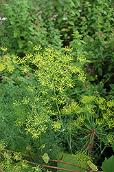 Dill (Anethum graveolens) at Ron Paul Garden Centre