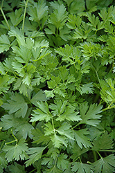 Italian Parsley (Petroselinum crispum 'var. neapolitanum') at Ron Paul Garden Centre