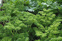 Curly Parsley (Petroselinum crispum 'var. crispum') at Ron Paul Garden Centre