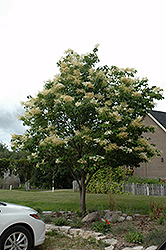 Japanese Tree Lilac (Syringa reticulata) at Ron Paul Garden Centre