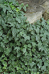 Glacier Ivy (Hedera helix 'Glacier') at Ron Paul Garden Centre