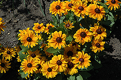 TigerEye Coneflower (Rudbeckia 'TigerEye') at Ron Paul Garden Centre