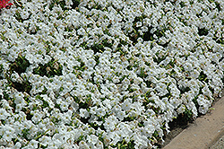 Pretty Flora White Petunia (Petunia 'Pretty Flora White') at Ron Paul Garden Centre