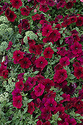 Easy Wave® Burgundy Velour Petunia (Petunia 'Easy Wave Burgundy Velour') at Ron Paul Garden Centre