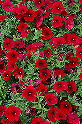 Easy Wave Red Velour Petunia (Petunia 'Easy Wave Red Velour') at Ron Paul Garden Centre