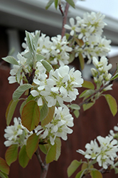 Standing Ovation™ Saskatoon Berry (Amelanchier alnifolia 'Obelisk') at Ron Paul Garden Centre