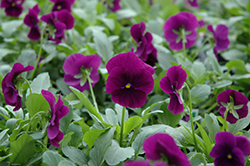 Cool Wave® Purple Pansy (Viola x wittrockiana 'PAS1077343') at Ron Paul Garden Centre