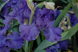 Breakers Iris (Iris 'Breakers') at Ron Paul Garden Centre