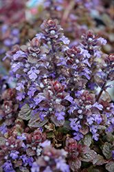 Bronze Beauty Bugleweed (Ajuga reptans 'Bronze Beauty') at Ron Paul Garden Centre