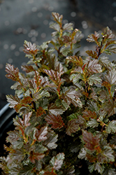Tiny Wine® Ninebark (Physocarpus opulifolius 'SMPOTW') at Ron Paul Garden Centre