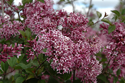 Bloomerang® Purple Lilac (Syringa 'Penda') at Ron Paul Garden Centre