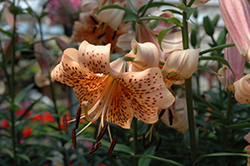 Splendens Tiger Lily (Lilium lancifolium 'Splendens') at Ron Paul Garden Centre
