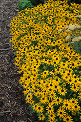 Little Goldstar Coneflower (Rudbeckia fulgida 'Little Goldstar') at Ron Paul Garden Centre