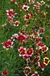 Berry Chiffon Tickseed (Coreopsis 'Berry Chiffon') at Ron Paul Garden Centre