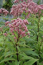 Baby Joe Dwarf Joe Pye Weed (Eupatorium dubium 'Baby Joe') at Ron Paul Garden Centre