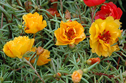 Sundial Yellow Portulaca (Portulaca grandiflora 'Sundial Yellow') at Ron Paul Garden Centre