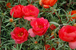 Sundial Red Portulaca (Portulaca grandiflora 'Sundial Red') at Ron Paul Garden Centre
