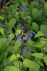 Black And Bloom Sage (Salvia guaranitica 'Black And Bloom') at Ron Paul Garden Centre