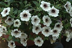 Supertunia® Latte Petunia (Petunia 'Supertunia Latte') at Ron Paul Garden Centre