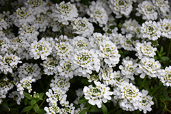 Snowflake Candytuft (Iberis sempervirens 'Snowflake') at Ron Paul Garden Centre