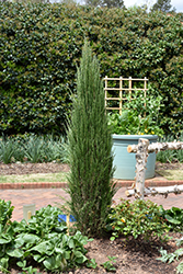 Blue Arrow Juniper (Juniperus scopulorum 'Blue Arrow') at Ron Paul Garden Centre