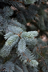 Hoopsii Blue Spruce (Picea pungens 'Hoopsii') at Ron Paul Garden Centre