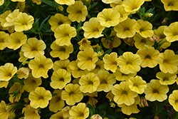 Superbells® Yellow Calibrachoa (Calibrachoa 'Superbells Yellow') at Ron Paul Garden Centre