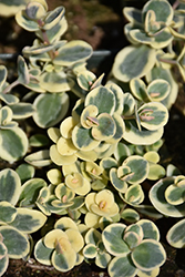 Lime Twister Stonecrop (Sedum 'Lime Twister') at Ron Paul Garden Centre