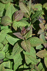 Double Play® Blue Kazoo® Spirea (Spiraea media 'SMSMBK') at Ron Paul Garden Centre