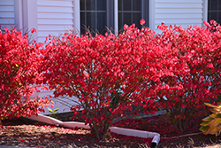 Chicago Fire Burning Bush (Euonymus alatus 'Chicago Fire') at Ron Paul Garden Centre