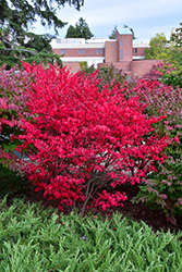Compact Winged Burning Bush (Euonymus alatus 'Compactus') at Ron Paul Garden Centre