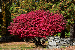Winged Burning Bush (Euonymus alatus) at Ron Paul Garden Centre