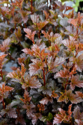 Satin Chocolate Ninebark (Physocarpus opulifolius 'Satin Chocolate') at Ron Paul Garden Centre