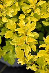 Tiny Wine® Gold Ninebark (Physocarpus opulifolius 'SMNPOTWG') at Ron Paul Garden Centre