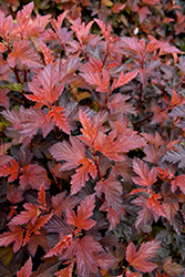Coppertina® Ninebark (Physocarpus opulifolius 'Mindia') at Ron Paul Garden Centre