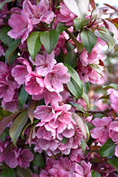 Gladiator™ Flowering Crab (Malus 'DurLeo') at Ron Paul Garden Centre