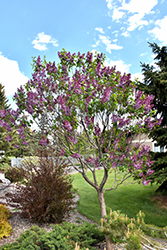 Sensation Lilac (Syringa vulgaris 'Sensation') at Ron Paul Garden Centre