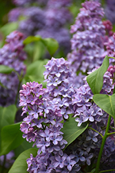 President Lincoln Lilac (Syringa vulgaris 'President Lincoln') at Ron Paul Garden Centre