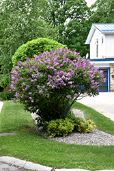 Donald Wyman Lilac (Syringa x prestoniae 'Donald Wyman') at Ron Paul Garden Centre