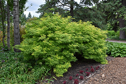 Sutherland Gold Elder (Sambucus racemosa 'Sutherland Gold') at Ron Paul Garden Centre